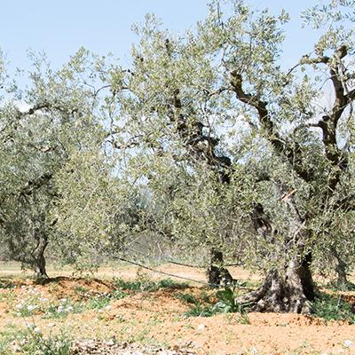 Vente d'oliviers et de gros sujets en Vaucluse