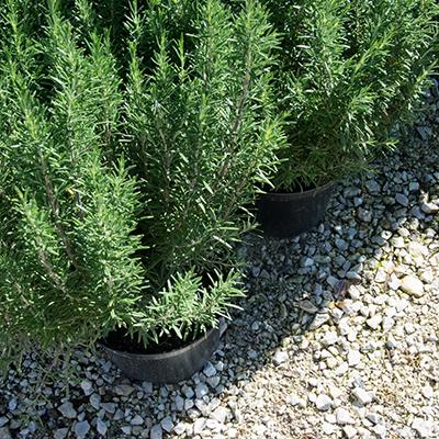 Vente de plantes méditerranéennes, pépinière à Roussillon