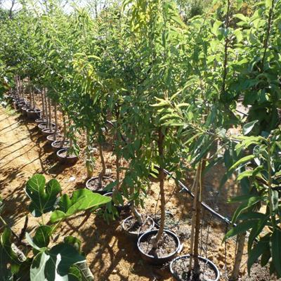 Vente d'arbres fruitiers à Cavaillon (Vaucluse)