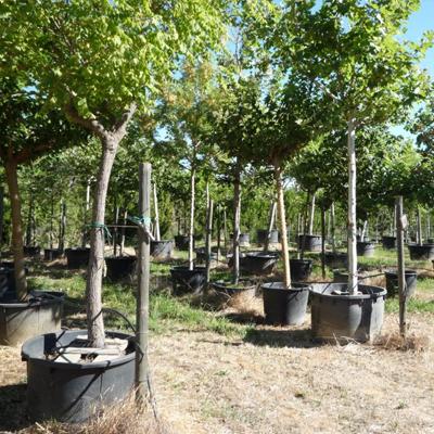 Vente d'arbres d'alignement et d'ombrage en Luberon