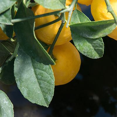 Vente de plants d'agrumes. Pépinière Appy à Roussillon